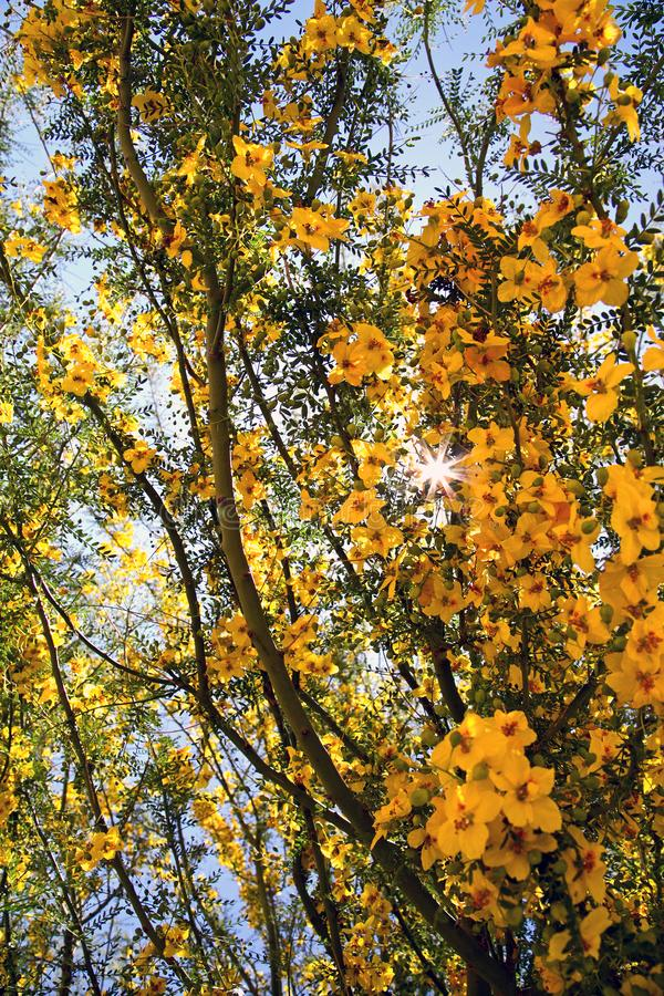 Yellow blooming tree. Yellow blooms adorn the sprawling tree branches in the sun royalty free stock photo