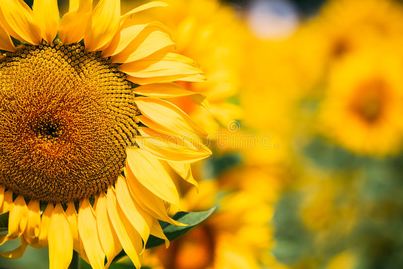 Yellow bloomng sunflower head in field in sunny summer day stock photos