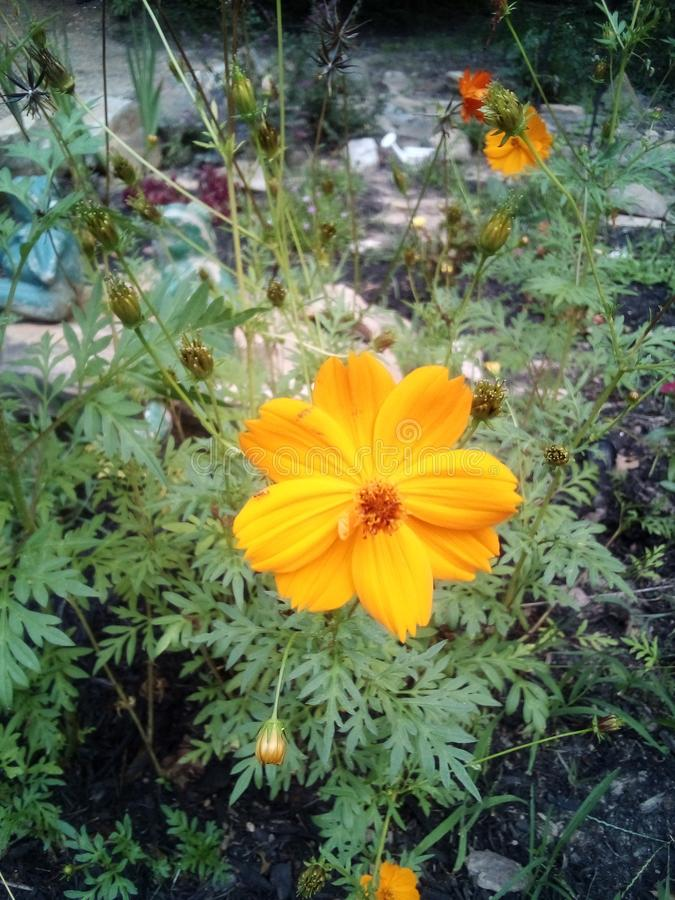 Yellow blooms in a garden. Cosmos, serenity royalty free stock photography