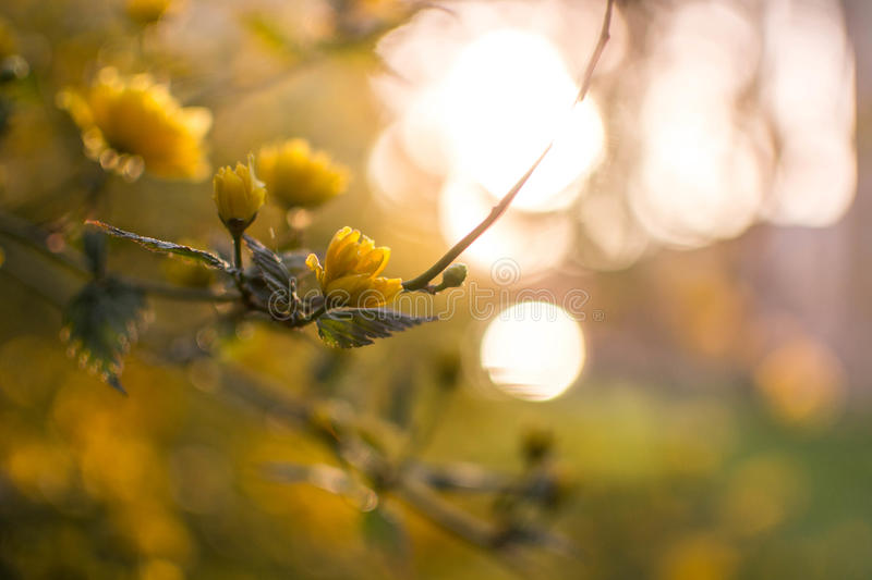 Yellow blossom royalty free stock image