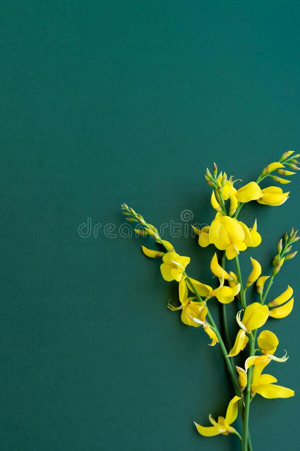 Free Yellow Blossom Gorse On The Green-blue Background Stock Image - 181794891