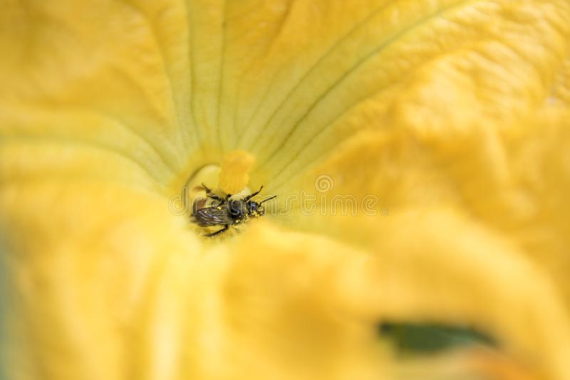 Yellow blossom insect honey bee pollinator. Yellow pumpkin blossom flower plant and insect - honey bee nature`s pollinator providing vegetables stock photos