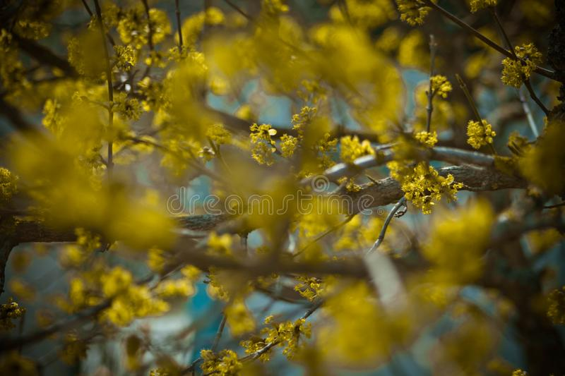Yellow blossom tree in the spring royalty free stock images