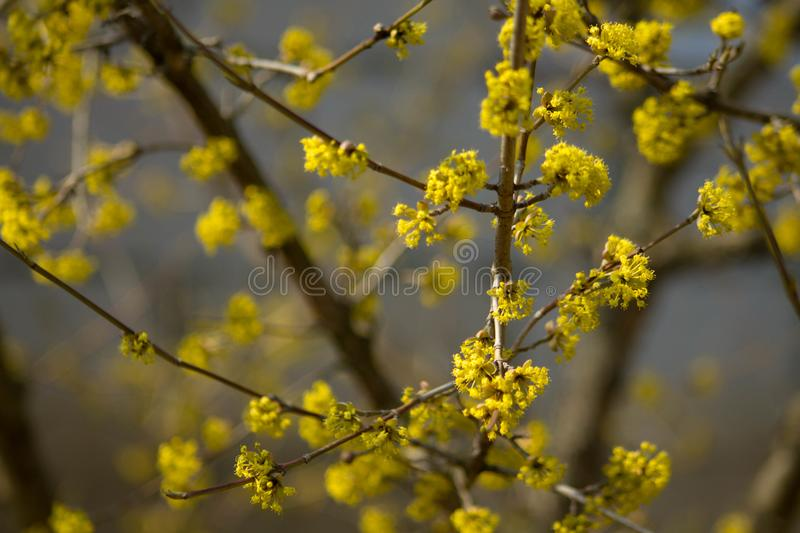 Yellow blossom tree in the spring royalty free stock photography