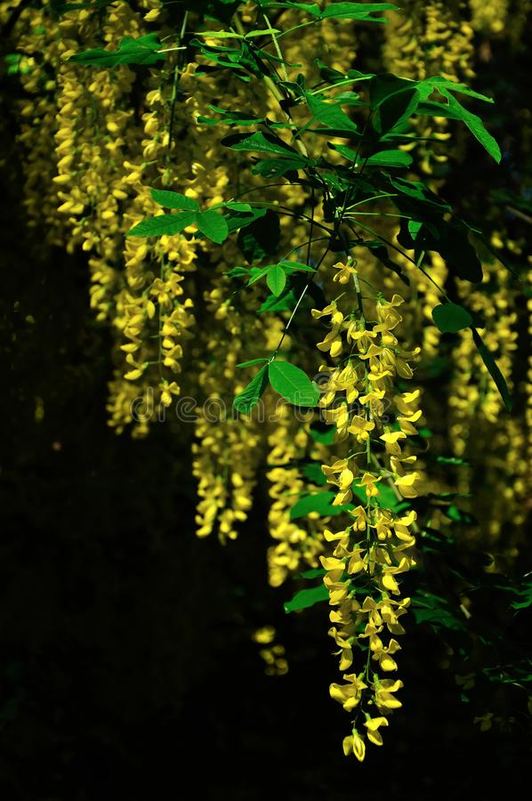 Yellow flowers on black background royalty free stock image
