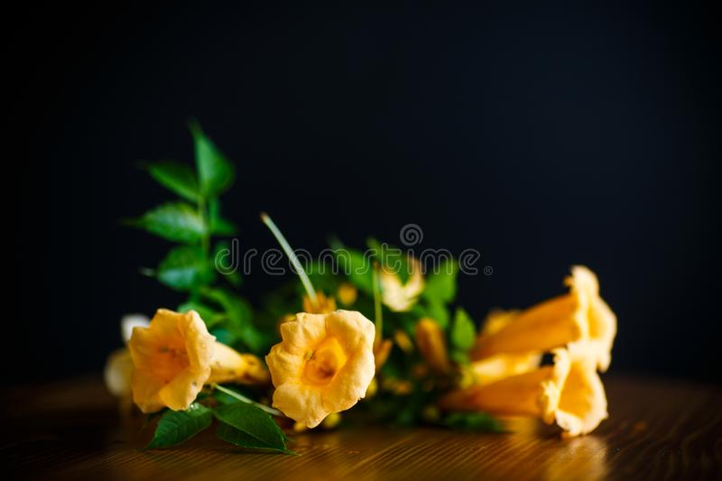 Yellow blossoming flowers campsis on a black stock image