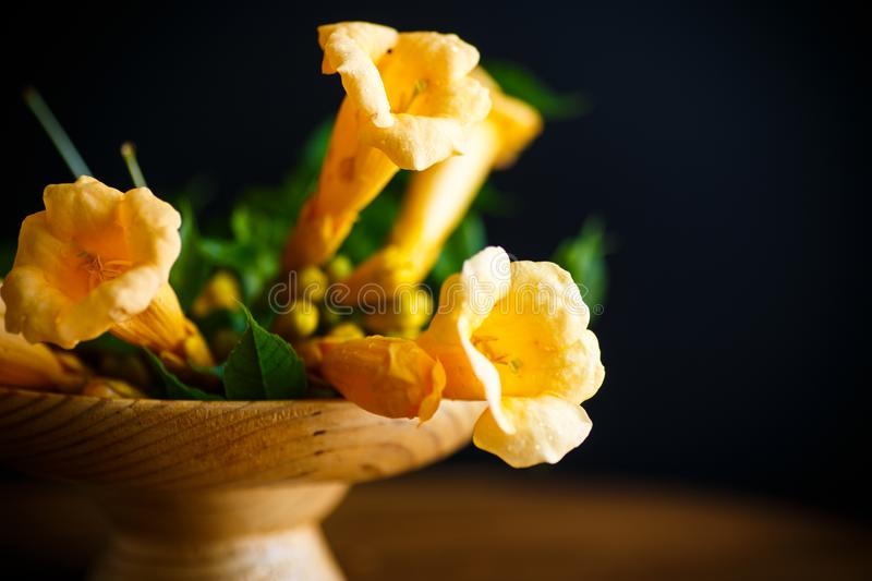 Yellow blossoming flowers campsis on a black royalty free stock image