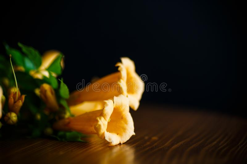Yellow blossoming flowers campsis on a black royalty free stock photo
