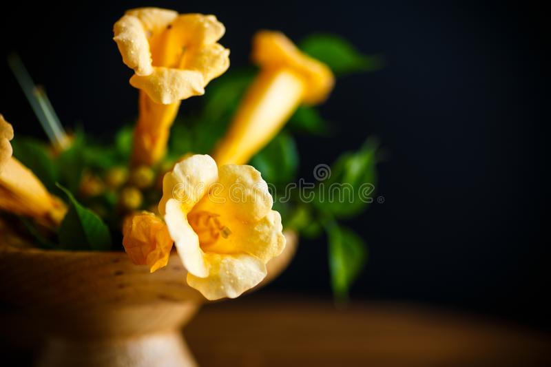 Yellow blossoming flowers campsis on a black stock photo