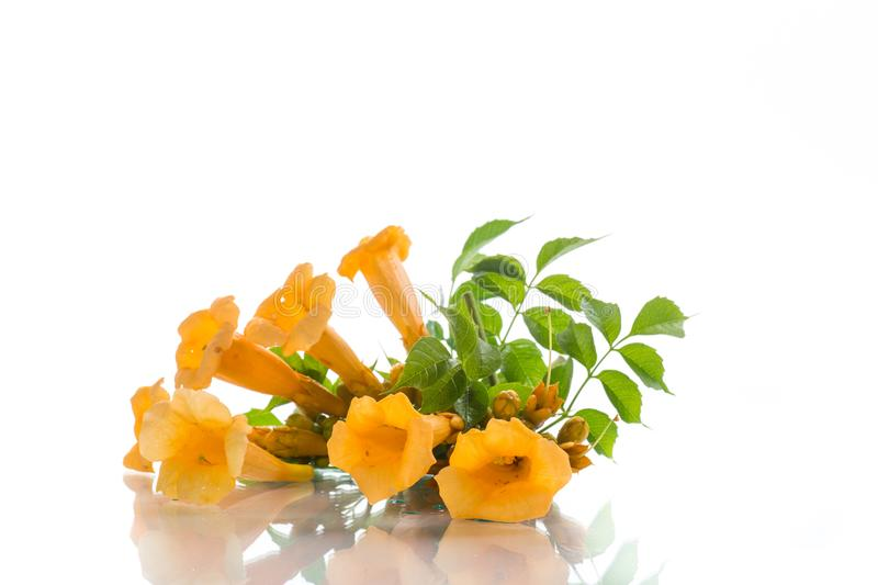 Yellow blossoming flowers campsis on a white royalty free stock image