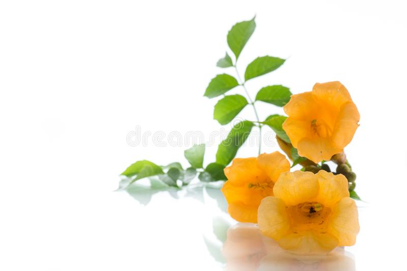 Yellow blossoming flowers campsis on a white stock photography