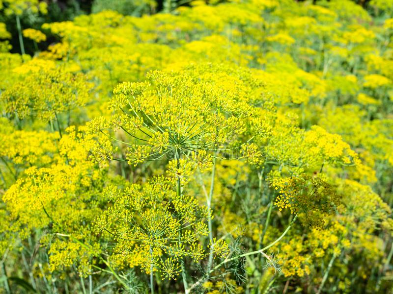yellow blossoms of dill herbs close-up in garden stock images