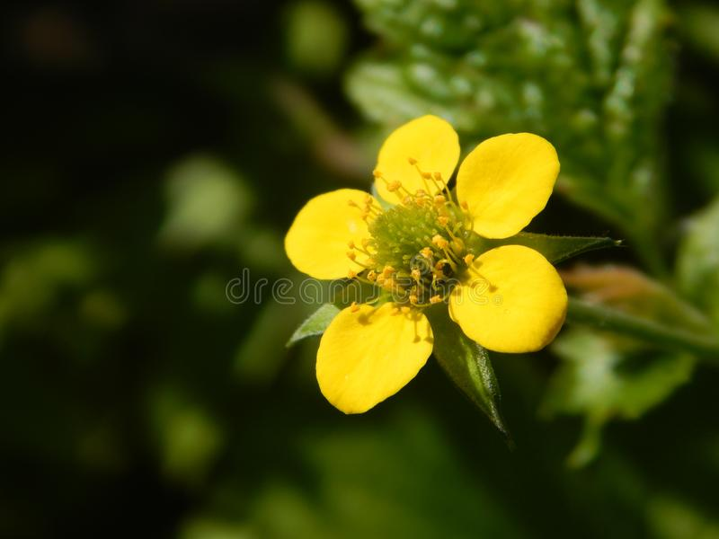 Yellow buttercup in my garden. Yellow blossoms with green background in my garden, in spring and summer nature is full of beautiful plants. This buttercup stock image