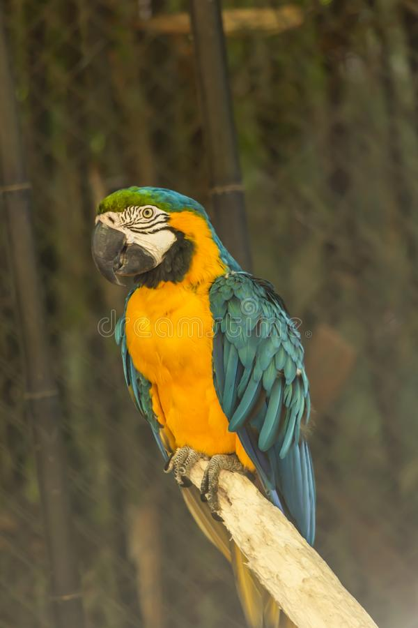 Yellow and blue ara macaw on perch. View of a single yellow and blue ara macaw on perch, fantastic colors, in Portugal royalty free stock photography