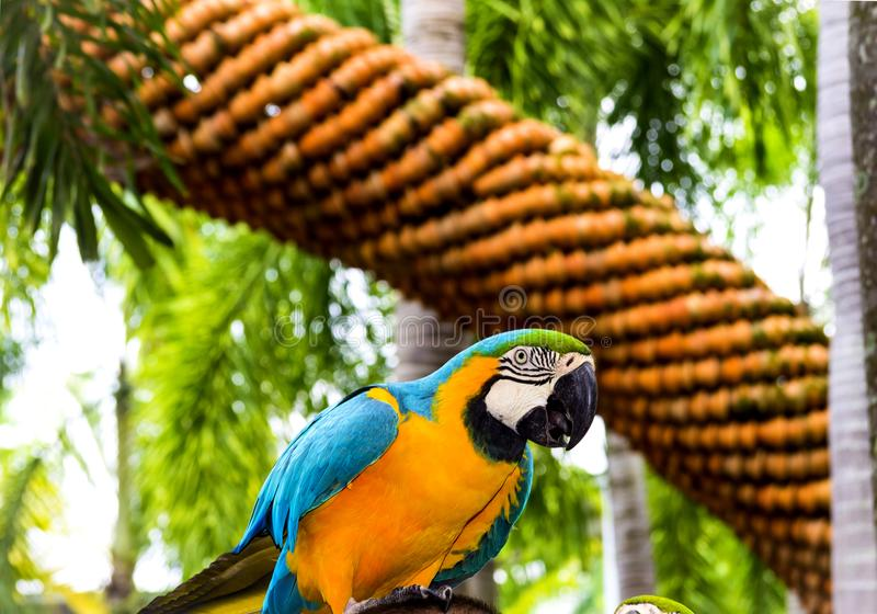 Yellow blue big parrot perched on a branch royalty free stock image