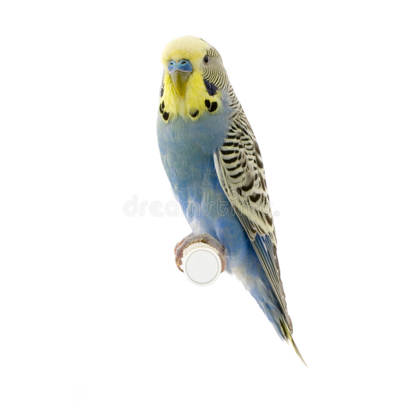 Download Yellow and blue budgie stock photo. Image of portrait - 2332396