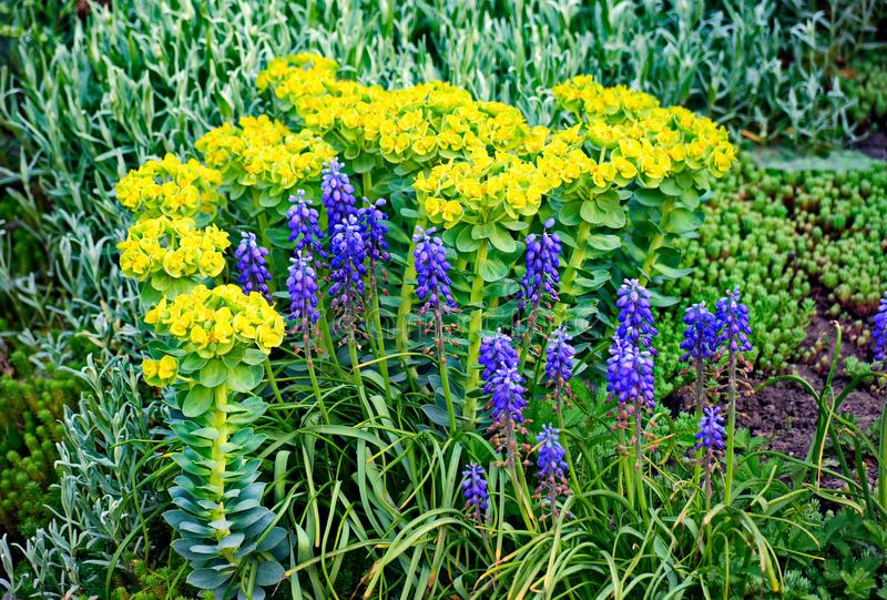 Yellow and blue flowers among green leaves and other ornamental plants on the flowerbed stock photos