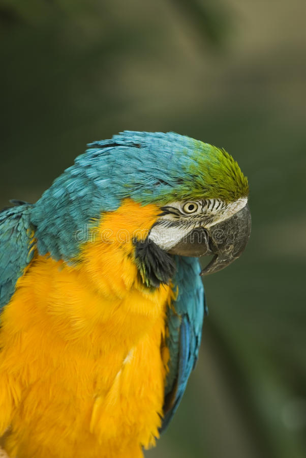 Download Yellow Blue Macaw Stock Photos - Image: 15253083
