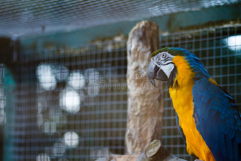 Yellow and blue Macaw Ara. Yellow and blue Macaw Ara chloropterus at nature royalty free stock image