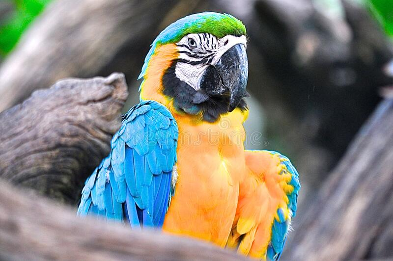 Yellow and blue parrot royalty free stock images
