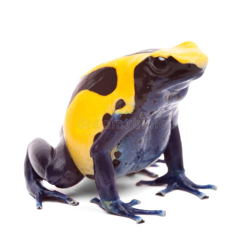 Yellow blue poison dart frog royalty free stock image