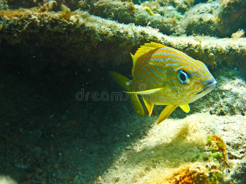 Yellow and blue stripped Grupper stock images