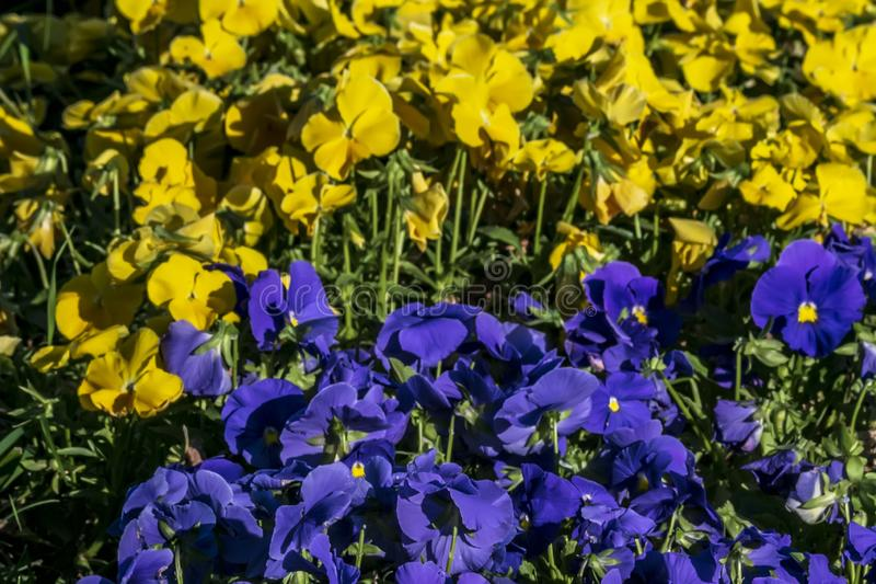 Yellow and blue violas in the city garden royalty free stock image