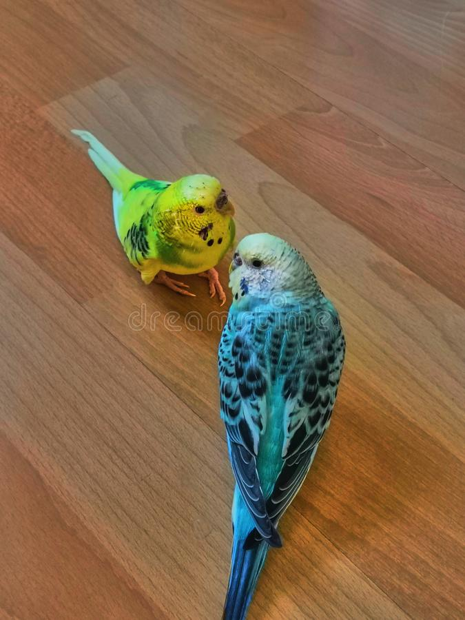 Yellow and blue wavy parrots are sitting on the wooden floor royalty free stock images