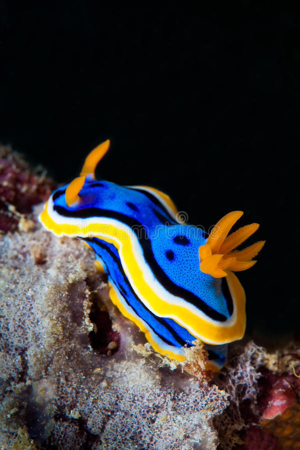 Yellow, blue, white, purple and black nudibranch. Underwater photo. Philippines royalty free stock photos