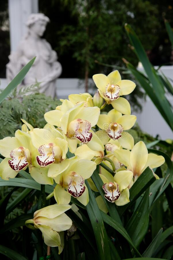 Yellow boat orchids in blooming in botanical garden royalty free stock photos