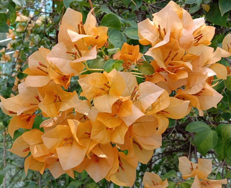 Yellow bougainvillea flower scientific name: Bougainvillea is a perennial plant of the type of shrub. Yellow bougainvillea flower scientific name: Bougainvillea stock photos