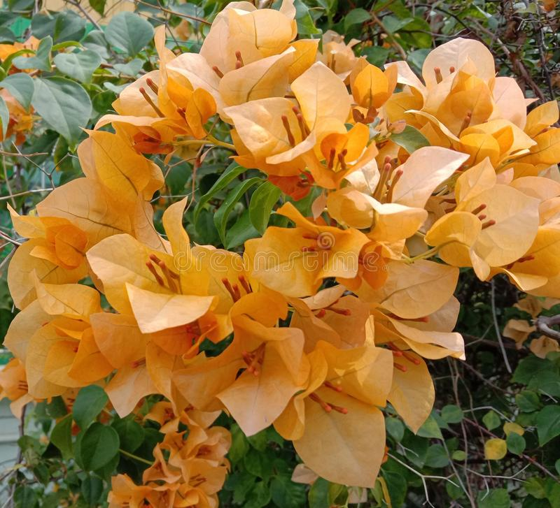 Yellow bougainvillea flower scientific name: Bougainvillea is a perennial plant of the type of shrub. Yellow bougainvillea flower scientific name: Bougainvillea stock image