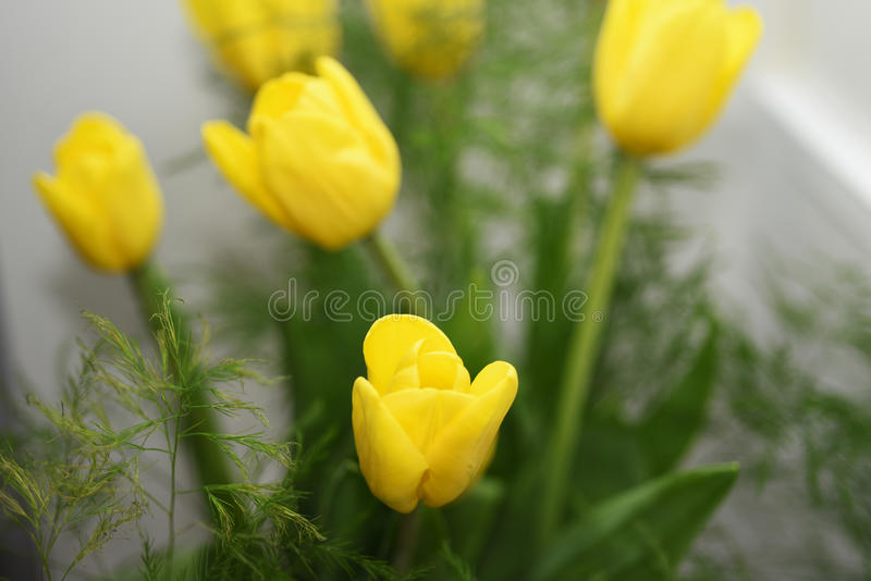 Yellow bouquet of tulips. On white background royalty free stock image