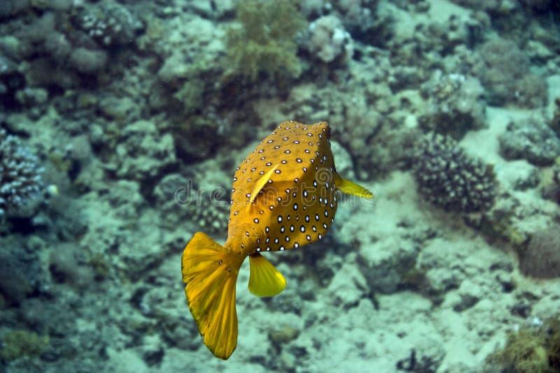 Yellow boxfish stock photos