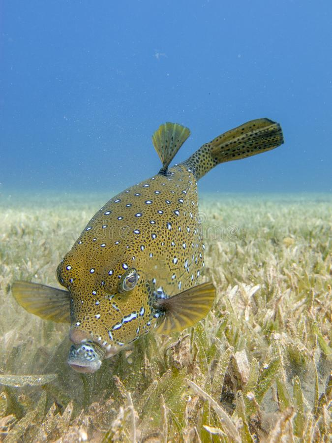Yellow Boxfish searching for food on the seagrass in Dahab, Egypt. Close up of a yellow boxfish on the sea grass with a clear blue sea in the background royalty free stock images