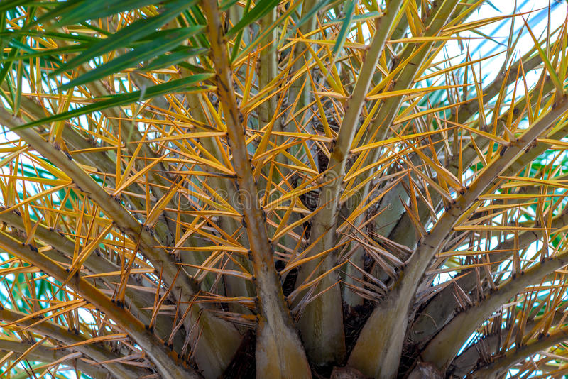 Yellow branches of a coconut tree close-up royalty free stock photography