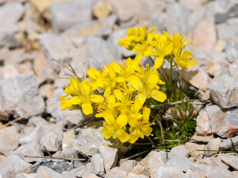 A yellow brassicaceae in the austrian alps. A yellow brassicaceae in the eastern austrian alps stock images