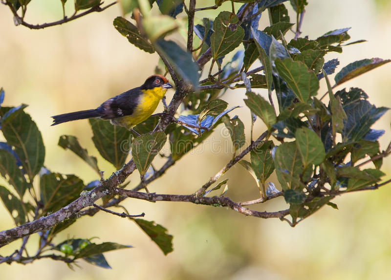Download Yellow-breasted Brush Finch Stock Image - Image: 25853623