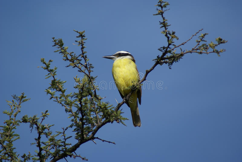 Yellow breasted chat. A yellow breasted chat bird in a tree royalty free stock photos