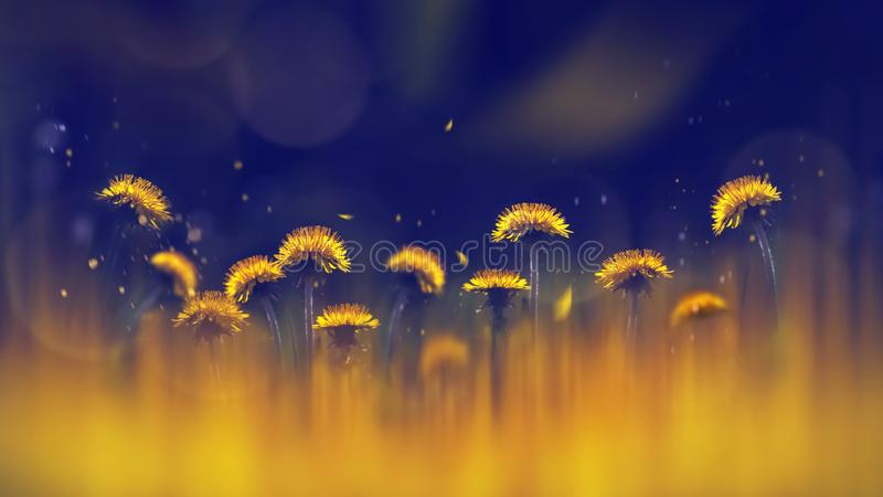 Yellow bright dandelions on a blue background. Spring summer creative background. Artistic image in backlight. stock image