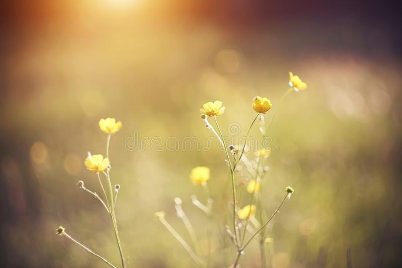 Yellow flowers Buttercup illuminate the rays of the sun. Yellow bright flowers Buttercup growing on a green meadow, illuminate the bright rays of the rising sun royalty free stock images