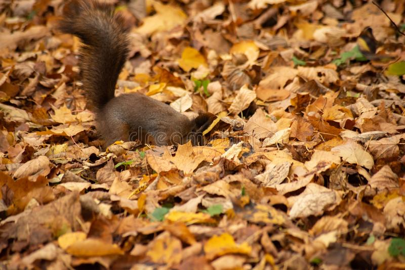 Bright photo of squirrels in dry foliage. Yellow bright photo of squirrels in dry foliage, dig, autumn, animal, cute, fur, brown, mammal, wildlife, nature stock images