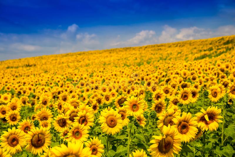 Yellow bright sunflower against the cloud sky. Summer landscape stock photos