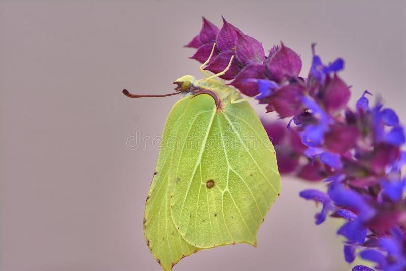 Yellow brimstone butterfly on salvia blossom stock photos
