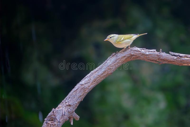 Yellow-browed Willow Warbler royalty free stock image