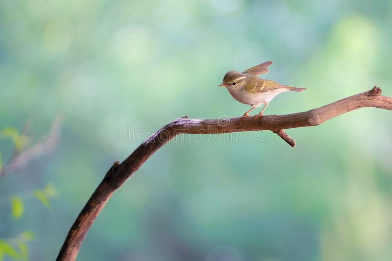 Yellow-browed Willow Warbler. A Yellow-browed Willow Warbler stands on branch. Scientific name: Phylloscopus inornatus royalty free stock photos