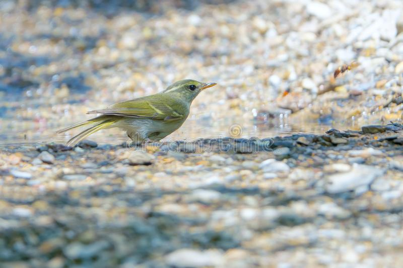 Yellow-browed Willow Warbler. A Yellow-browed Willow Warbler stands on ground. Scientific name: Phylloscopus inornatus stock photography