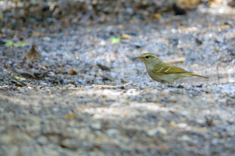 Yellow-browed Willow Warbler. A Yellow-browed Willow Warbler stands on ground. Scientific name: Phylloscopus inornatus stock photo