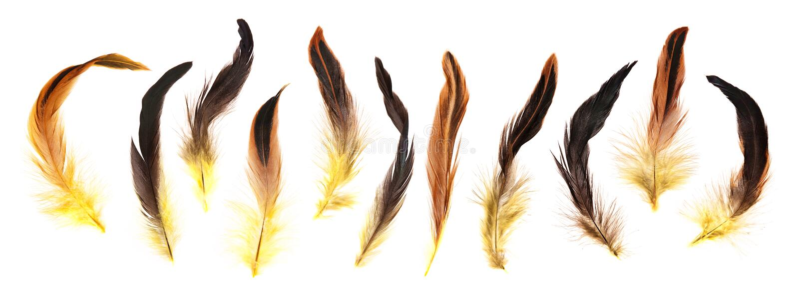 Yellow, brown and black cock`s feathers isolated royalty free stock photos