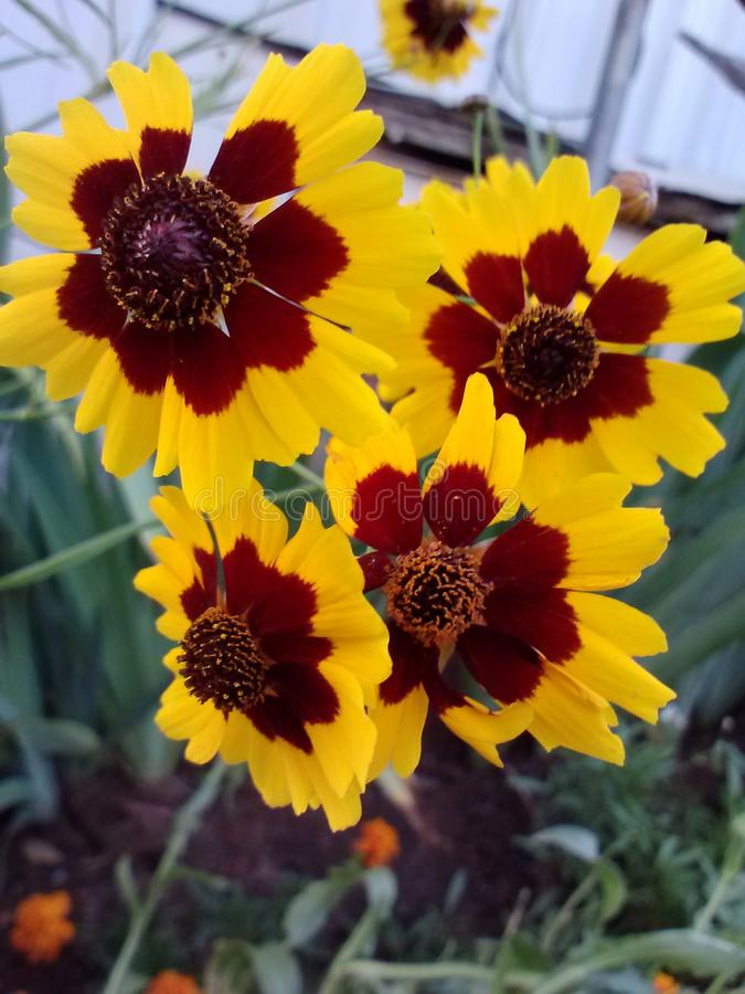 Yellow and Brown Flowers royalty free stock photo